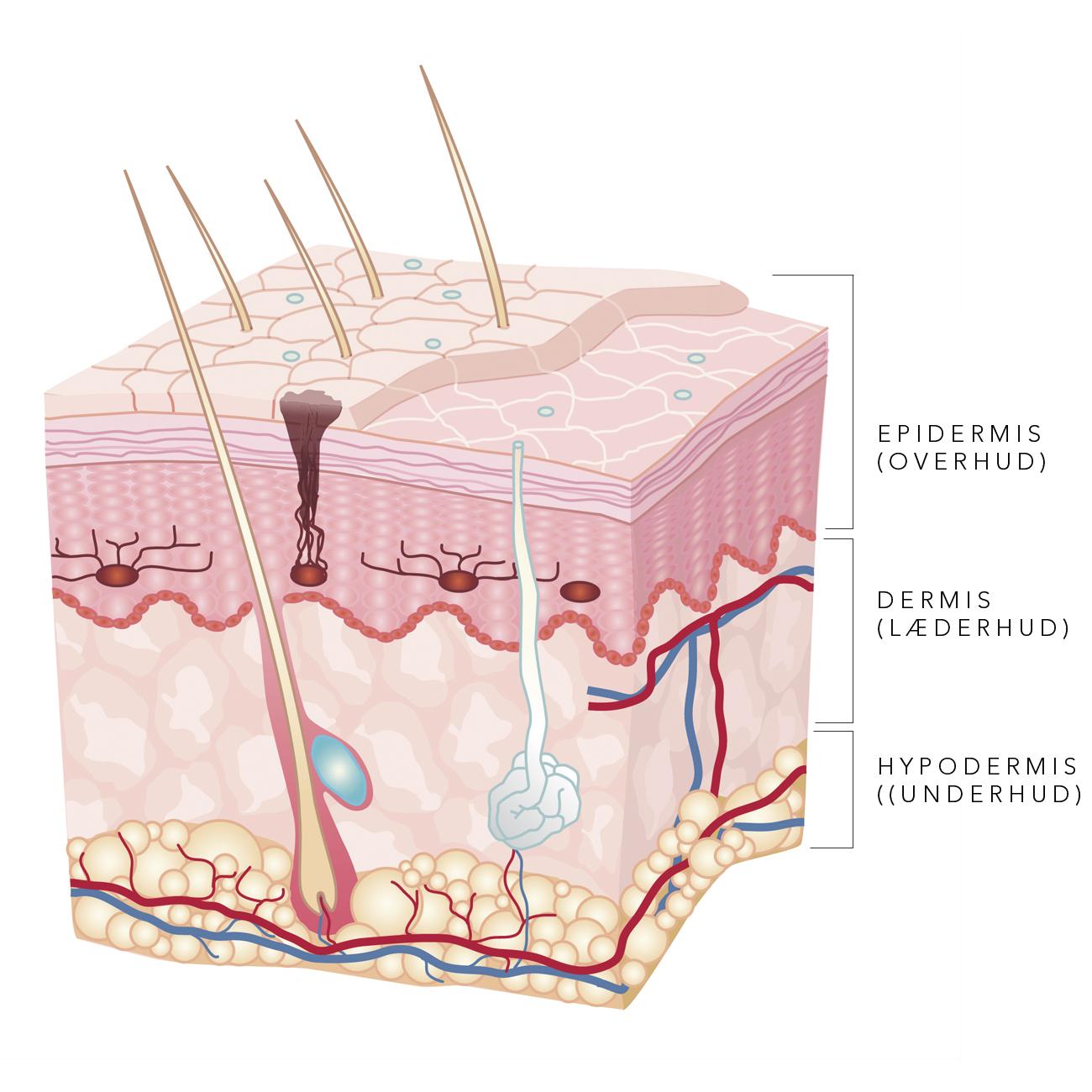 skin tissues